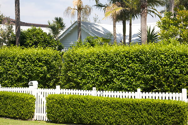 Garden hedge with white picket fence