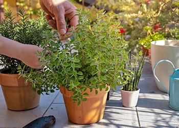 Hand tip pruning pot plants