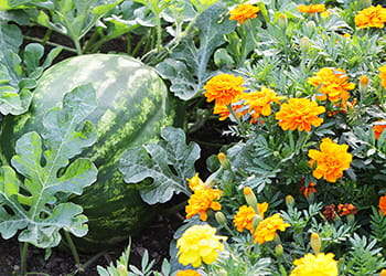 Watermelon growing next to marigolds