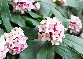 Pink flowering Daphne shrub