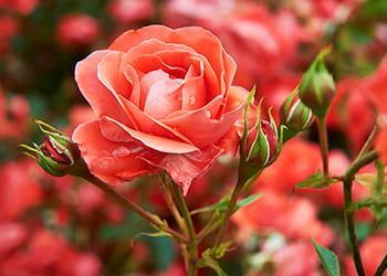 Corel coloured rose bush growing in the garden