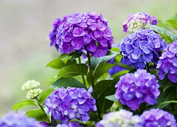Hydrangea with beautiful purple flowers