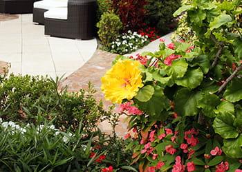 Landscaped garden with Hibiscus shrub