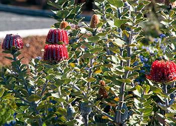 Red flowering Albany banksia bush