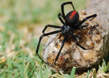 Red back spider - Affordable Pest Control