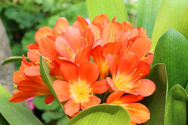 kaffir lily flowers