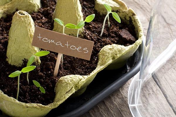 tomato seedlings growing in an egg carton