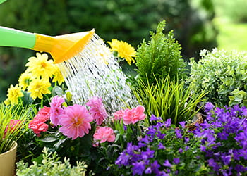 Watering colourful flowers with a watering can