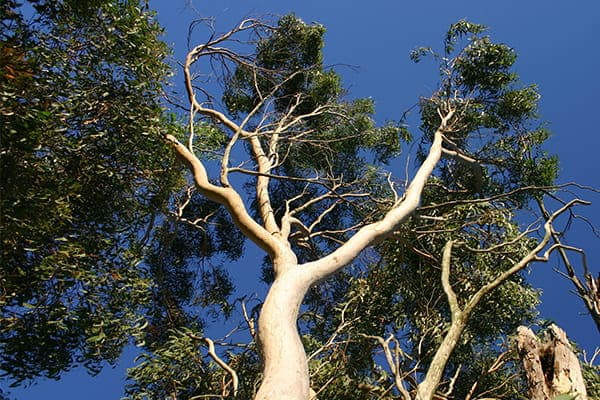Large gum tree