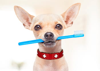 Small dog holding a toothbrush in its mouth