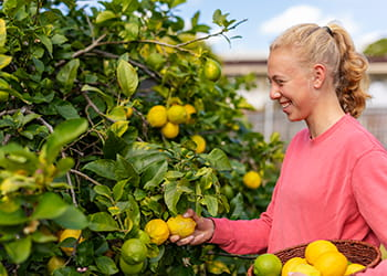 Young lady picking lemons from a tree in her backyard