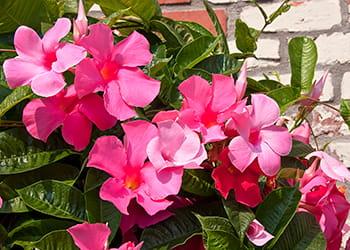 Pink climbing Mandevilla plant