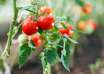 bright red tomatoes growing on a vine