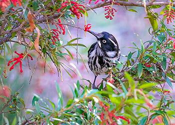 new holland honeyeater bird in a tree
