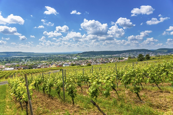 Rhineland Vineyard