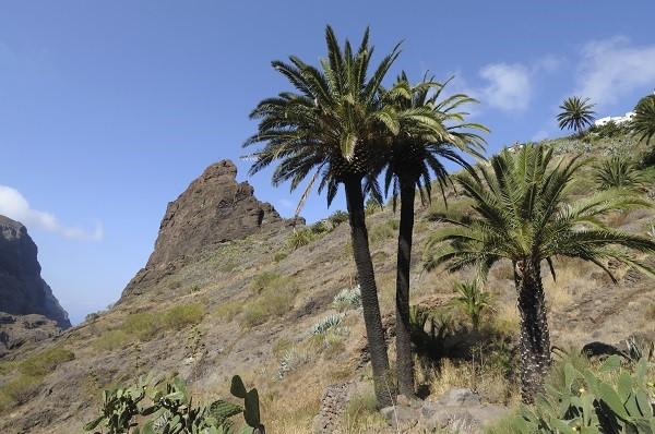 Date Palm Tree Canary Islands