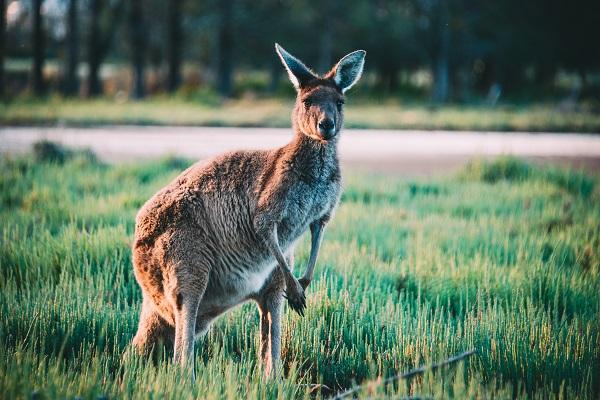 Kangaroo Perth