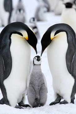 Emperor Penguins And Baby