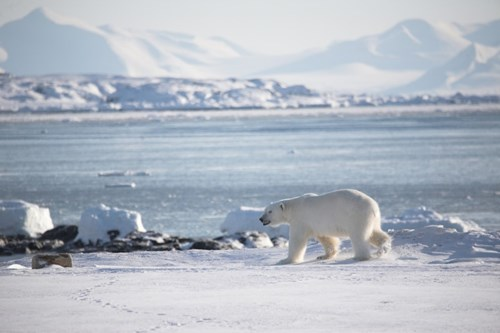 Polar Bear Squinting