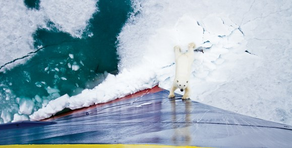 Polar Bear With Paws On Side Of Ship