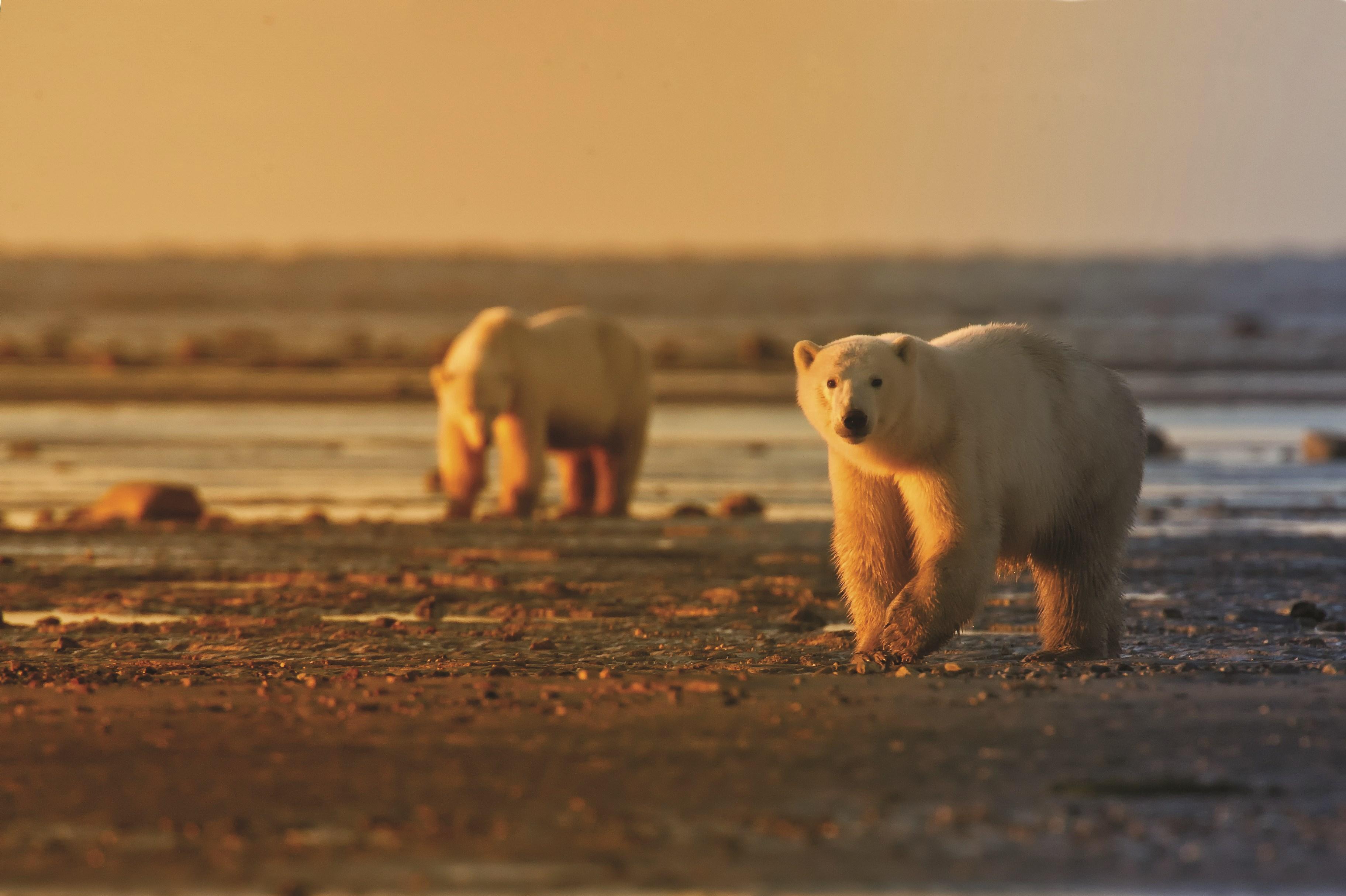 Polar Bears Roaming The Plains