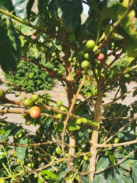 Coffee Beans Gran Canaria