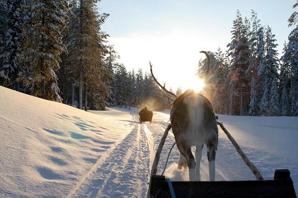 Reindeer Sledging