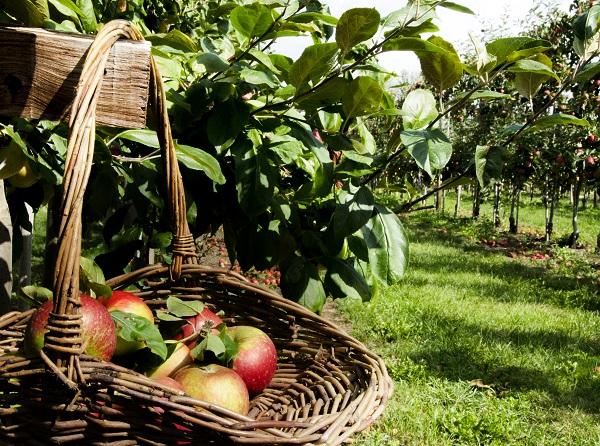 Cider Orchard
