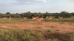 The Impala rut