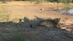 Tracking Lions at The Last Word Kitara