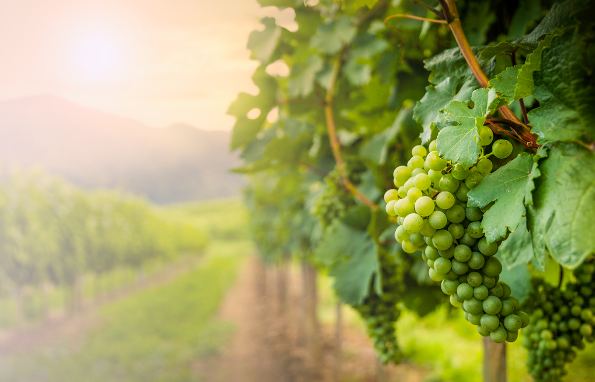 Background image close-up of white wine grapes in a vineyard