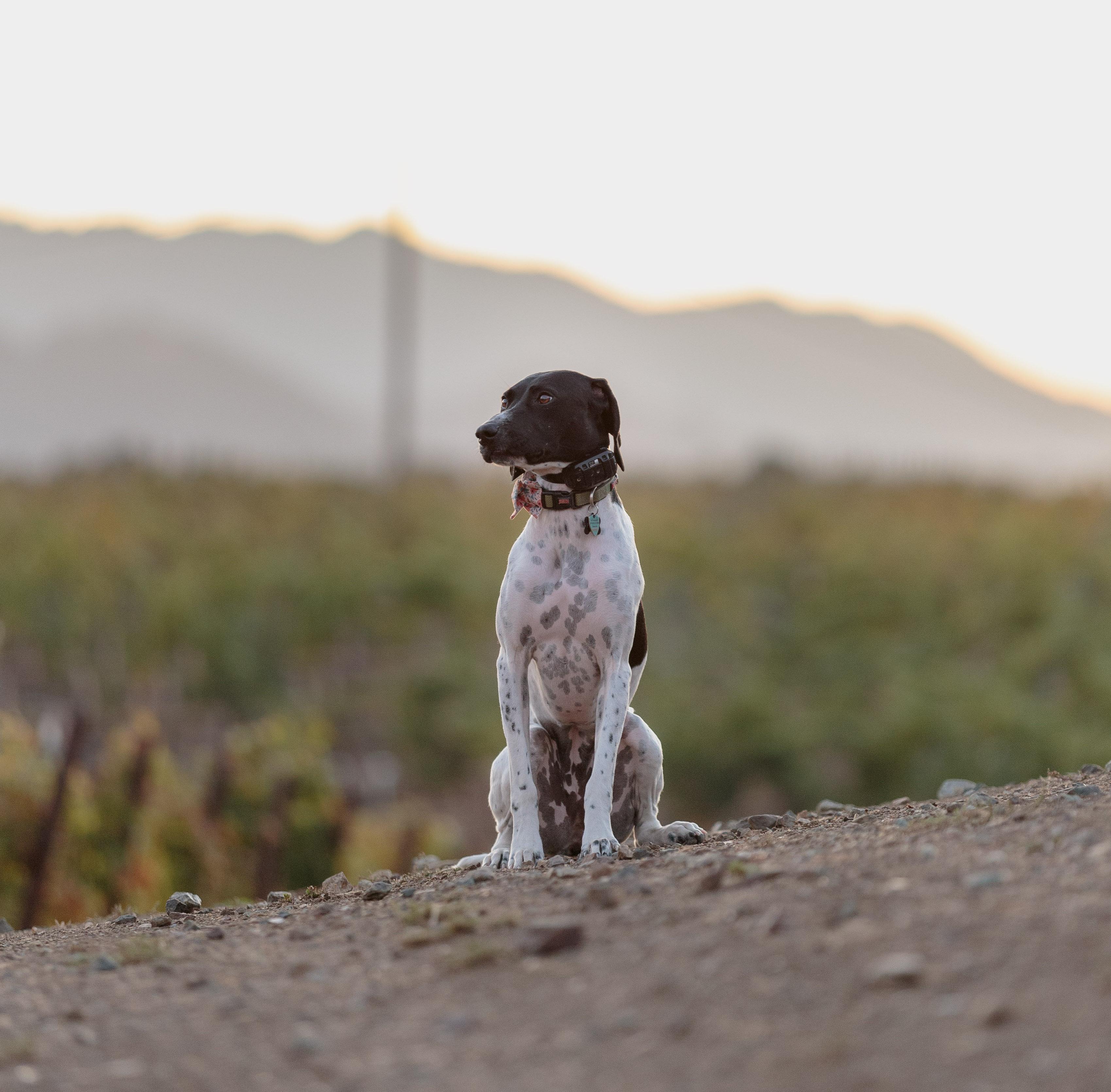 WINECULT dog Poppy