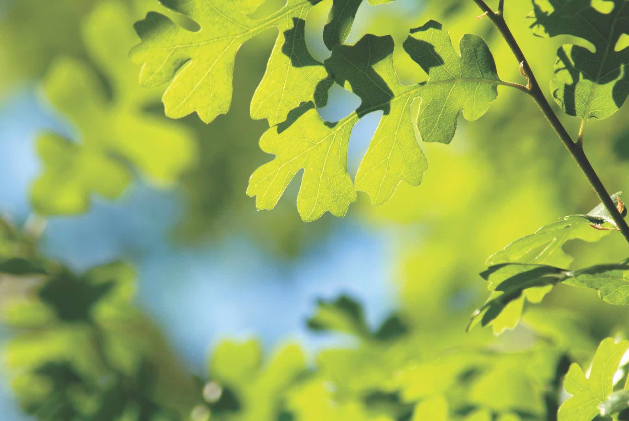 Salter Healthcare Green Oak Leaves