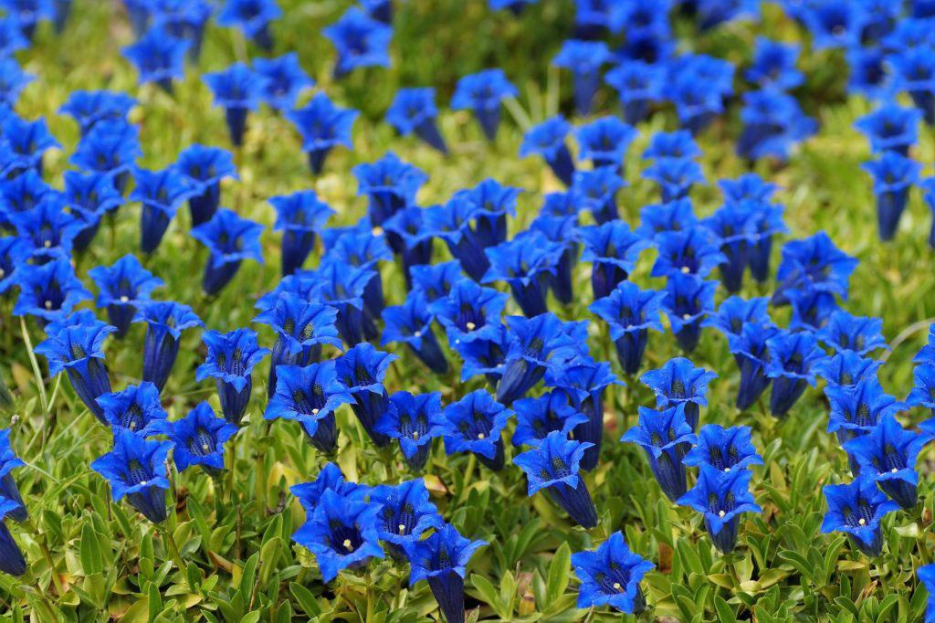 blue-flower-kinds