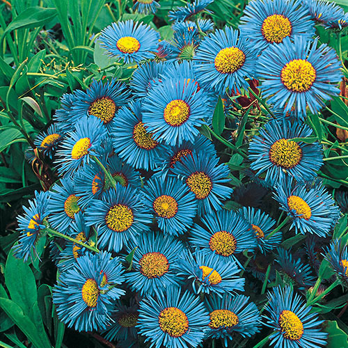 blue-flowers-for-house