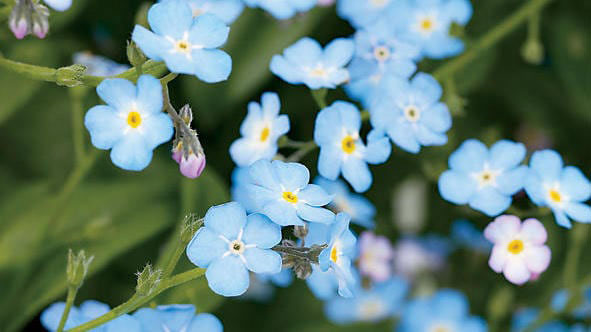 forget-me-not-blue-flower