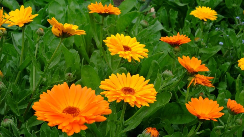 Calendula_officinalis-flower