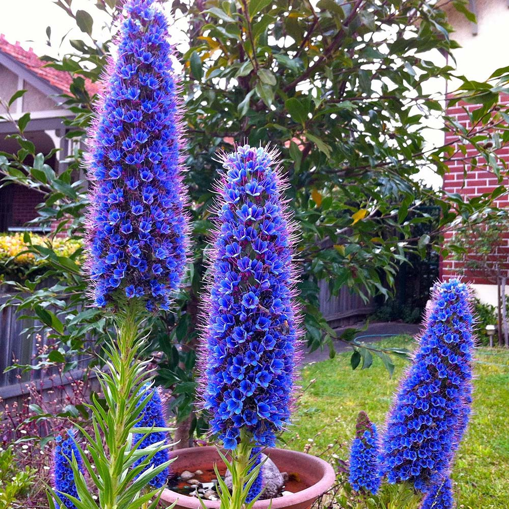echium-types-of-flowers-with-pictures
