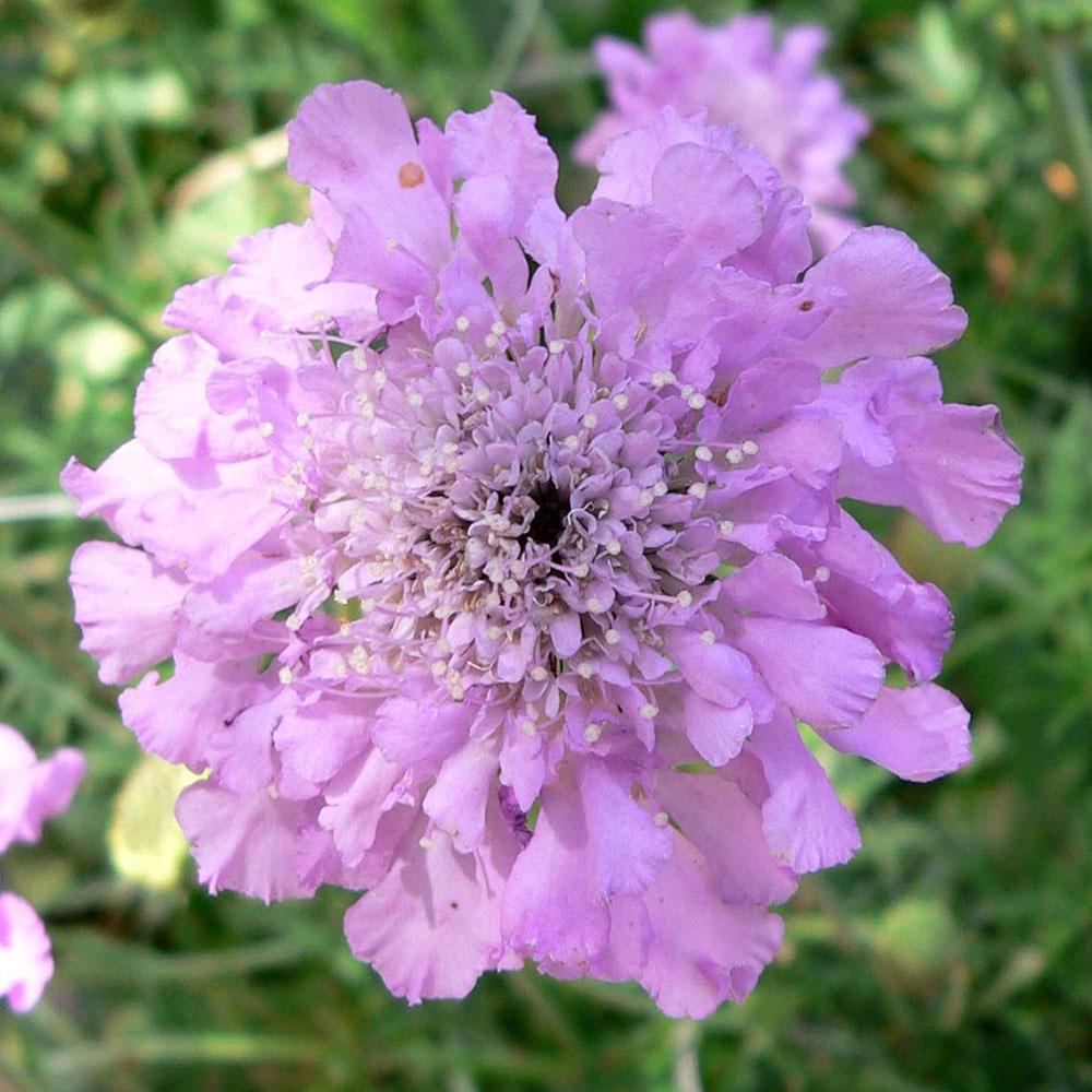 scabiosa-flower