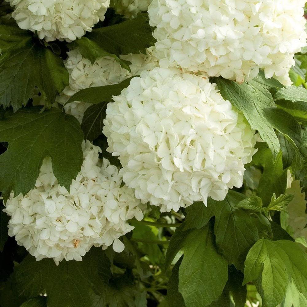 v1-flowers