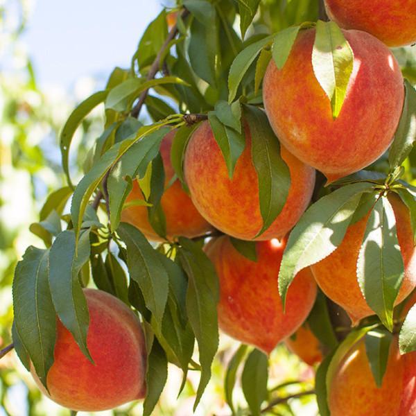 2021 Peachy Picks (Petite) | Organic Fruit Club | 4 Shipments