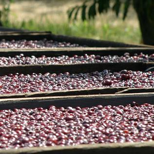 Dried Rainier Cherries
