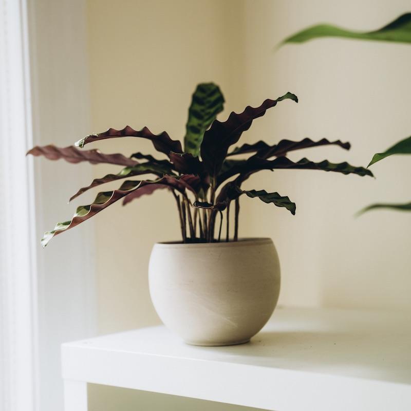 Calathea Lancifolia (Rattlesnake Plant)