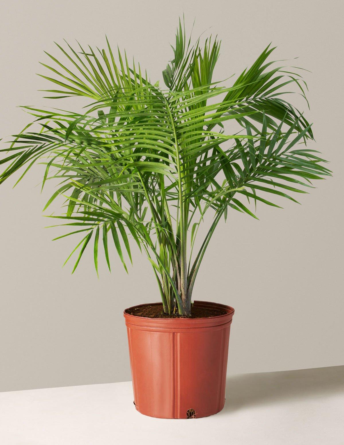 Large Majesty Palm