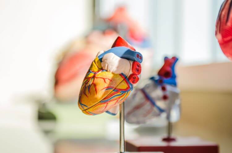 Image of a plastic heart for medical purposes in a healthcare office.