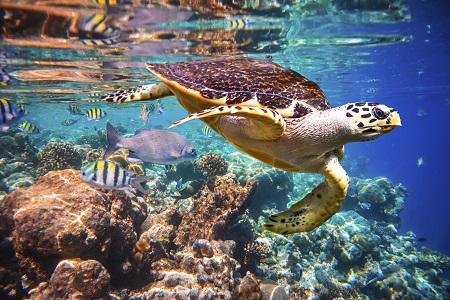 Maldives Sea Turtle