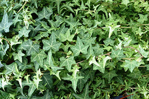 English Ivy clean the air in your home