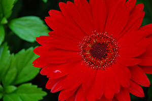 Gerber Daisies clean the air in your home