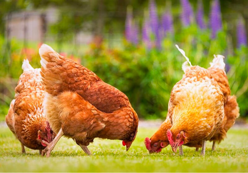 invoice factoring animal feed supplier