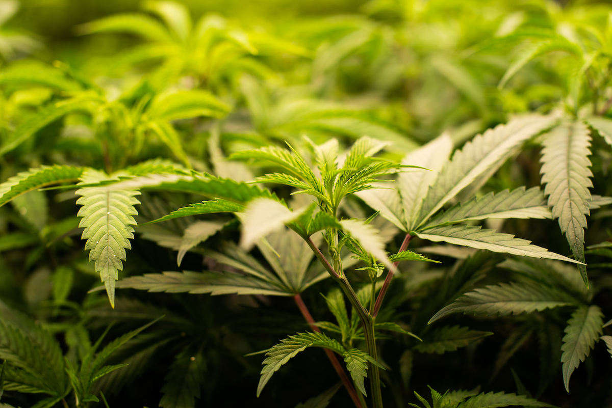 Clones in Cannabis Cultivation